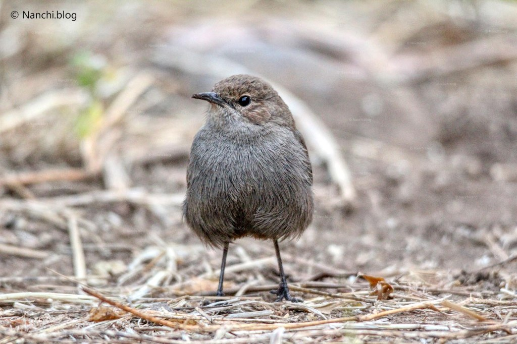 Brown Rock chat bird, Sinhagad Valley, Pune