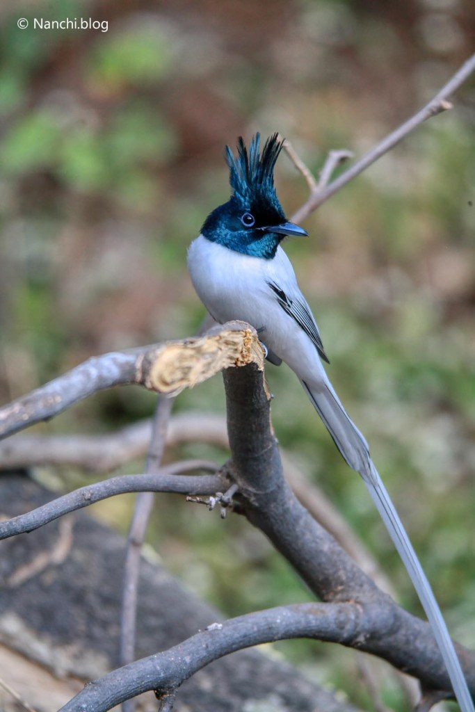 Indian Paradise Flycatcher, Sinhagad Valley, Pune