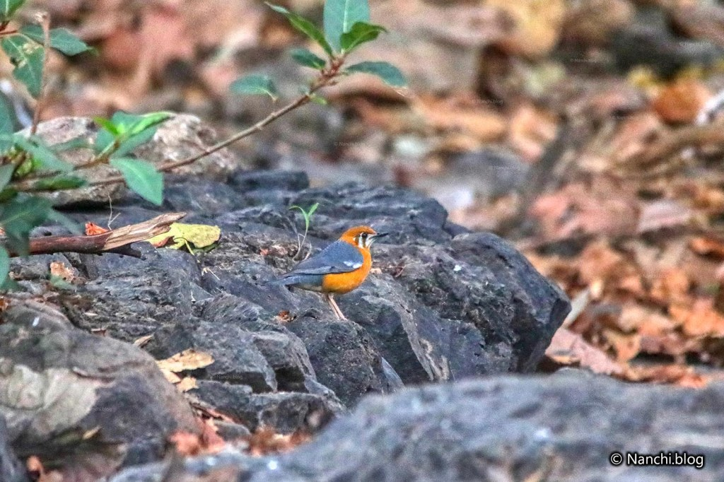 Orange Headed Thrush, Sinhagad Valley, Pune