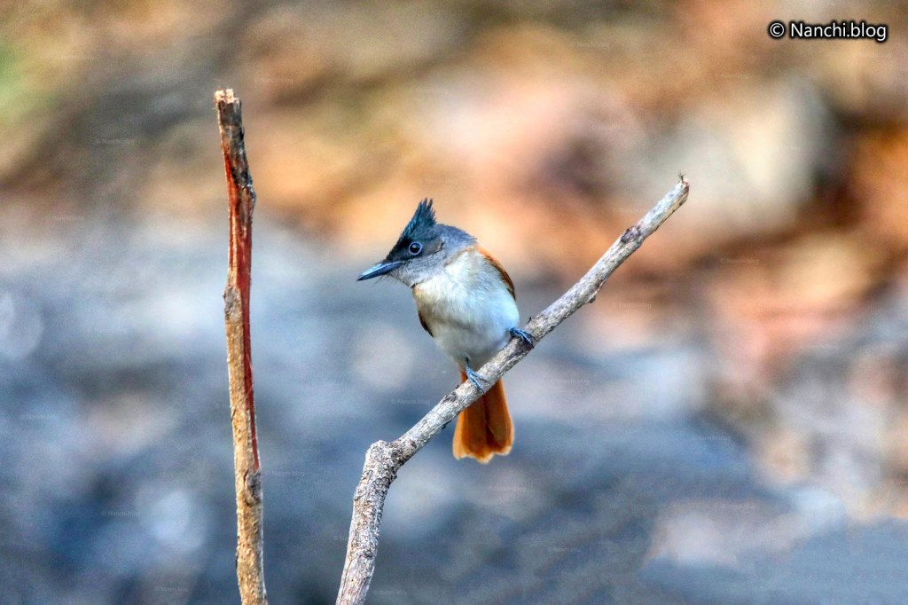 Juvenile Indian Paradise Flycatcher, Sinhagad Valley, Pune