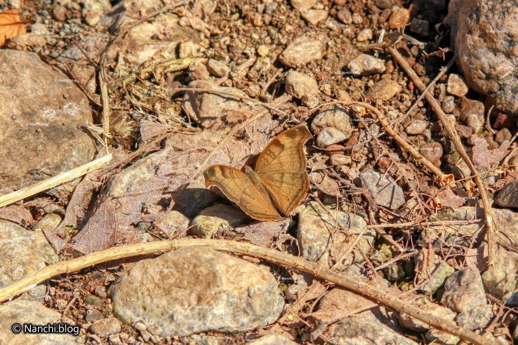 Moth, Sinhagad Valley, Pune