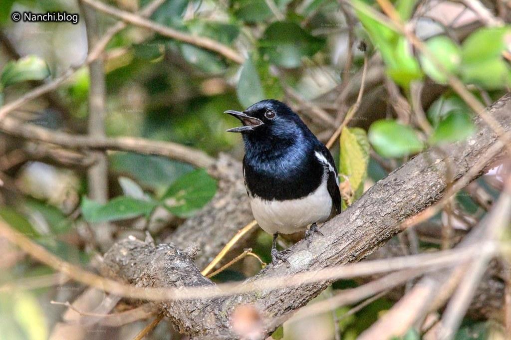 Oriental Magpie Robin bird, Sinhagad Valley, Pune