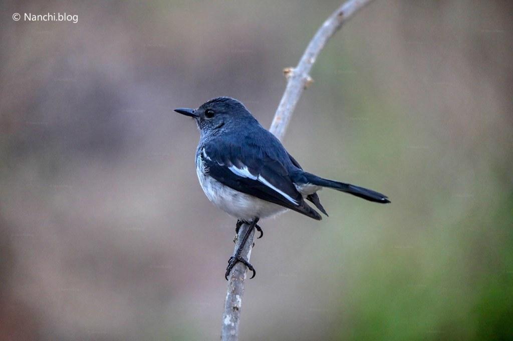 Oriental Magpie Robin, Sinhagad Valley, Pune