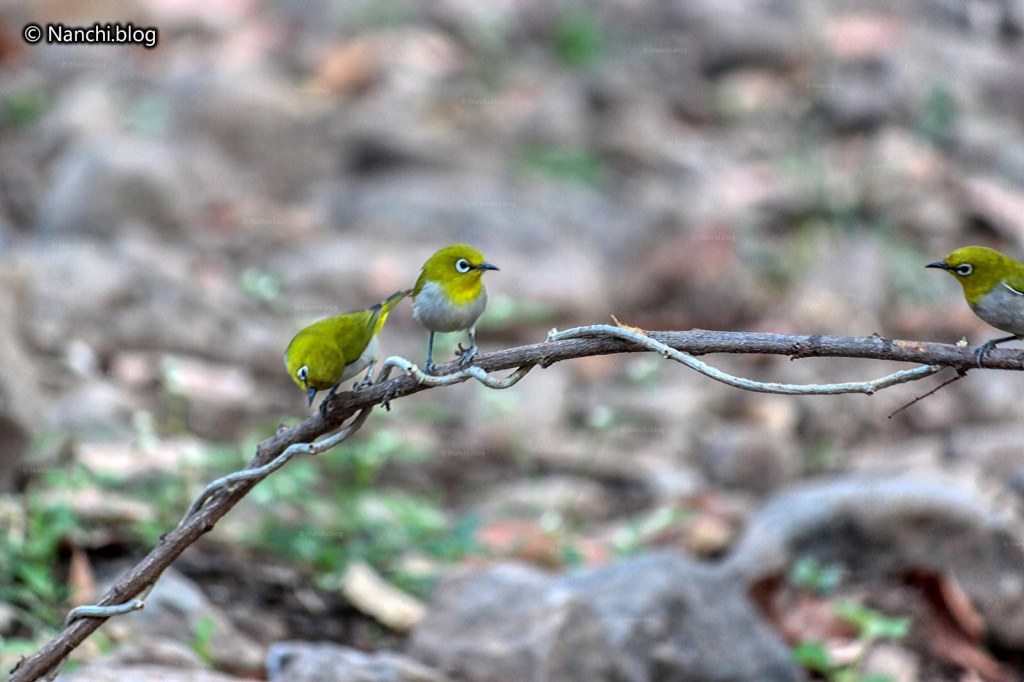 Oriental White Eye Birds, Sinhagad Valley, Pune