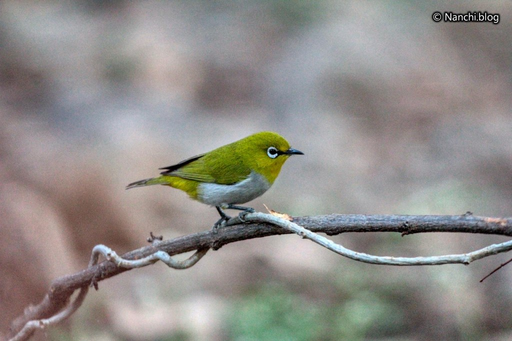 Oriental White Eye, Sinhagad Valley, Pune