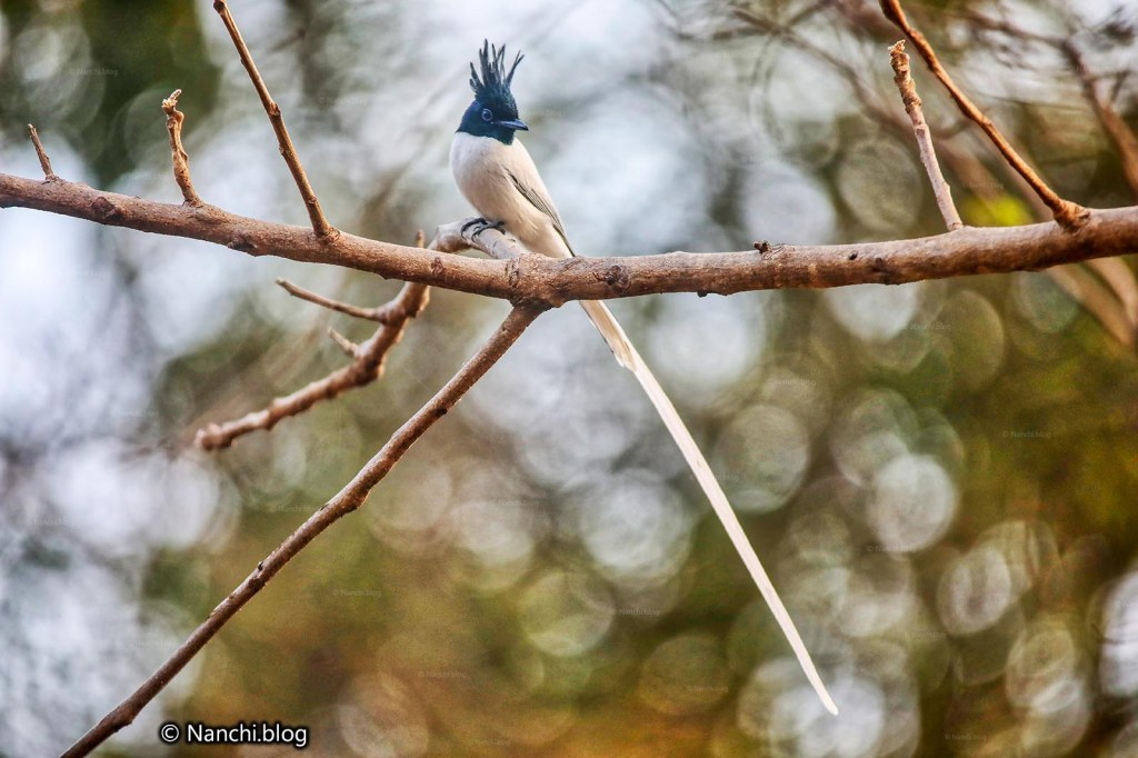 Paradise Flycatcher, Sinhagad Valley, Pune