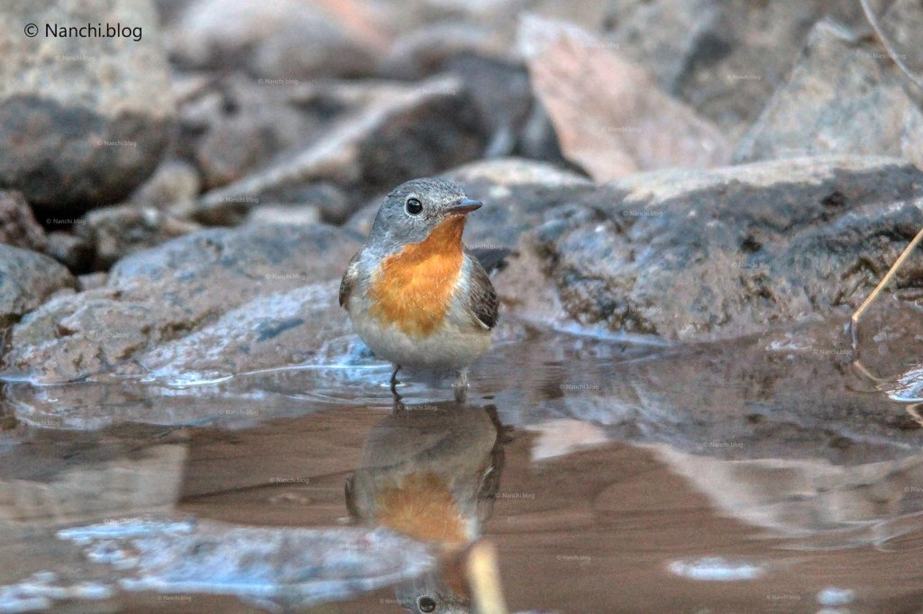 Red-Breasted Flycatcher in water, Sinhagad Valley, Pune