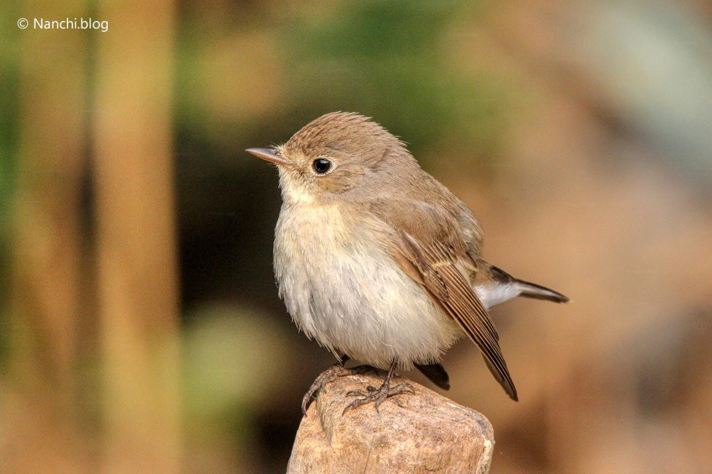 Red breasted Flycatcher, Sinhagad Valley, Pune