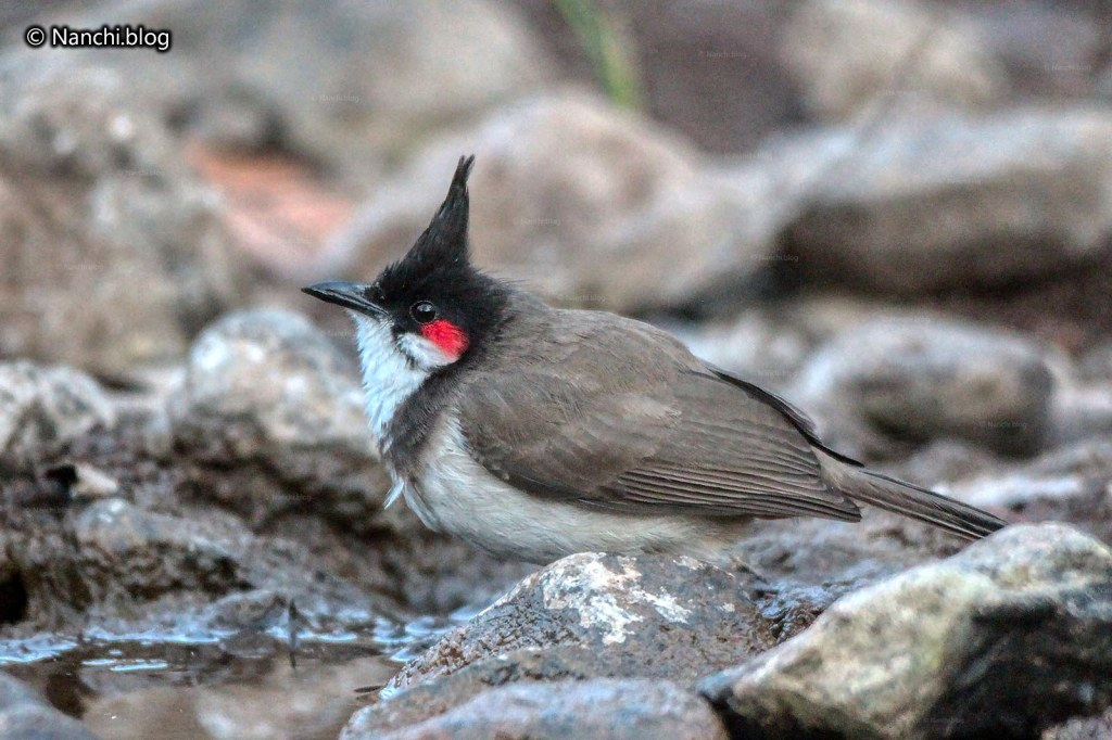 Red Whiskered Bulbul, Sinhagad Valley, Pune
