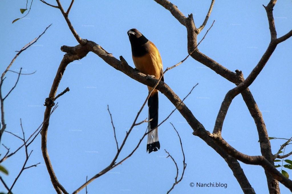 Rufous Treepie, Sinhagad Valley, Pune