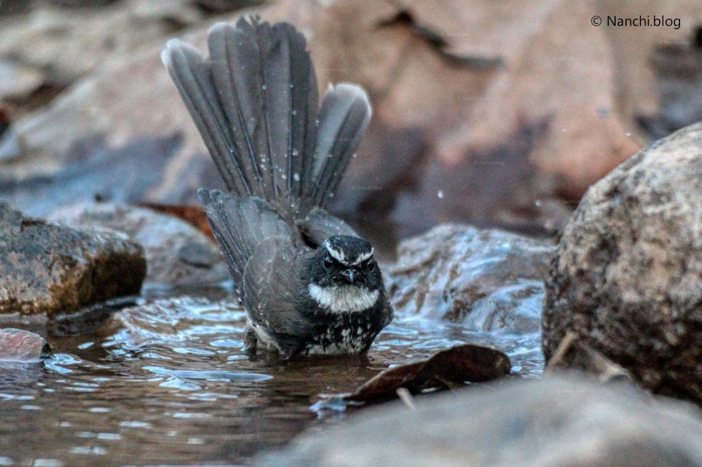 White Throated Fantail bathing, Sinhagad Valley, Pune