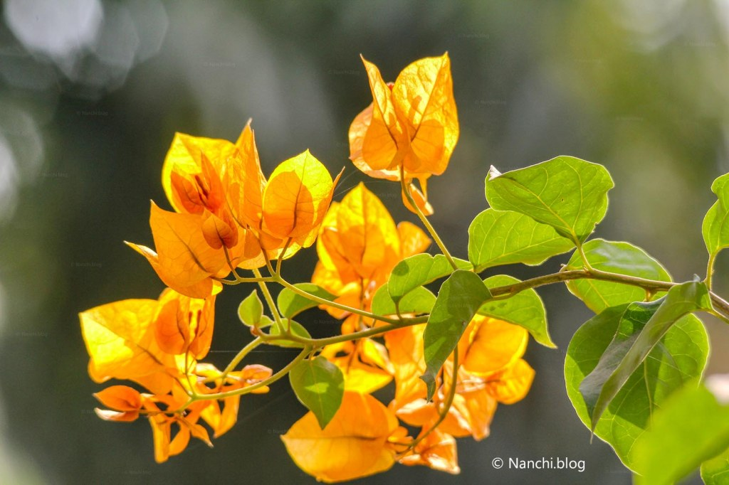 Yellow Bougainvillea, Sinhagad Valley, Pune