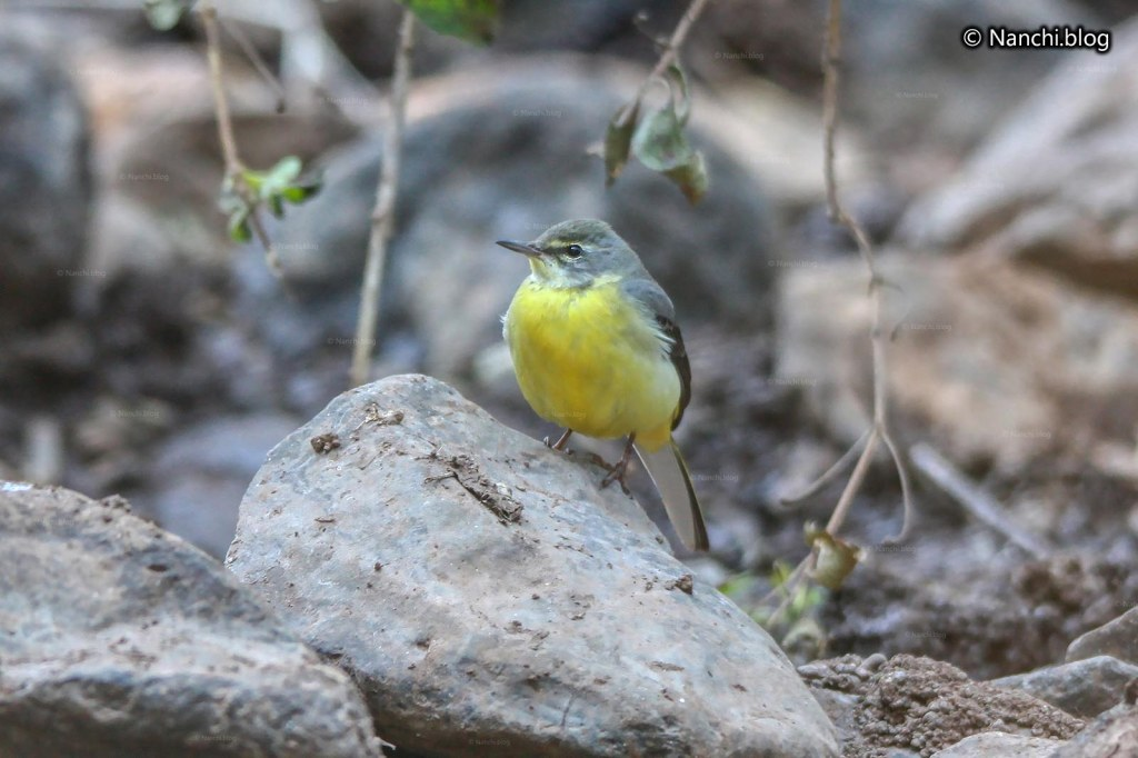 Yellow Wagtail Bird, Sinhagad Valley, Pune