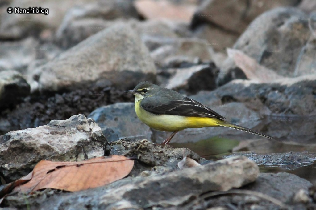 Yellow Wagtail, Sinhagad Valley, Pune